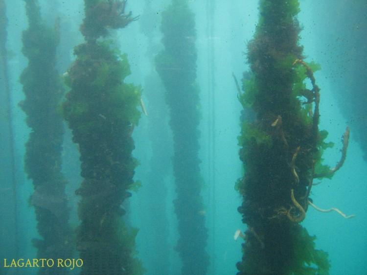 Sogas de cultivo de mejillones bajo el agua, tal como se ven desde el casco transparente de los barcos turísticos