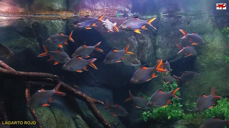 Peces del África Ecuatorial