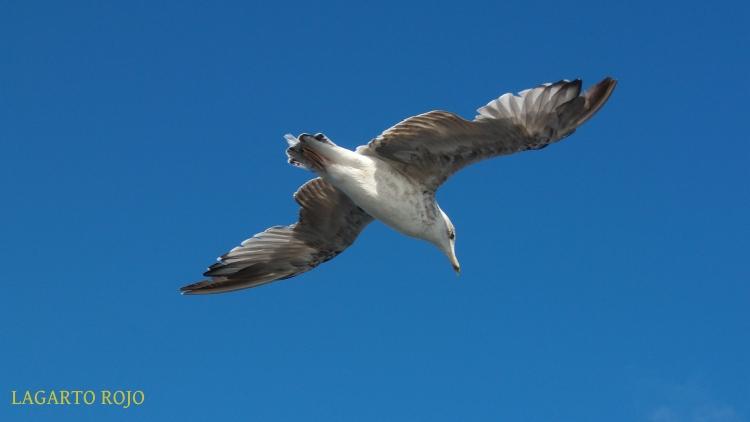 Una gaviota sobrevolando nuestras cabezas y mostrándonos su plumaje, toda una maravilla de la aeronáutica