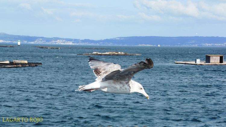 Una gaviota aprovecha las ráfagas de viento para planear ante nuestro objetivo, flotando como lo haría una cometa