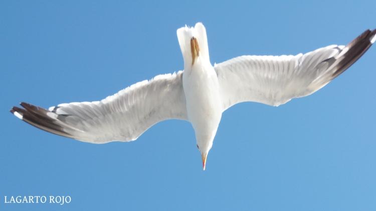 Otra preciosa imagen de una gaviota sobrevolando nuestras cabezas