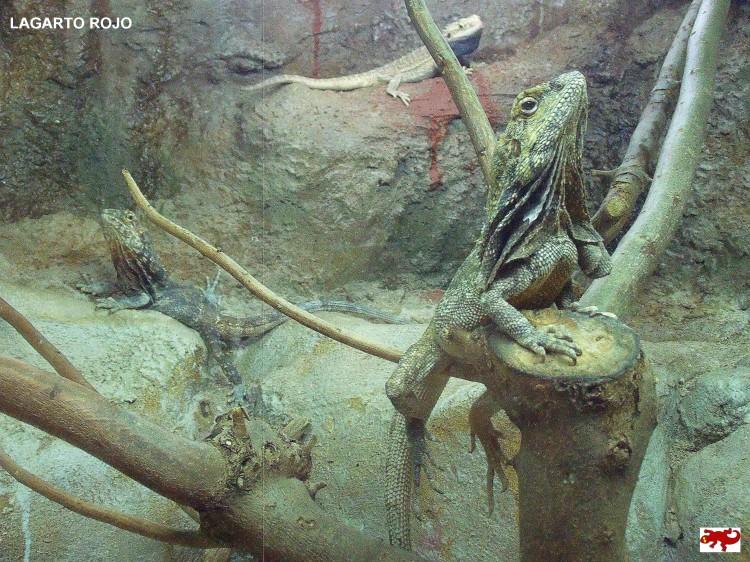 Clamidosaurio australiano