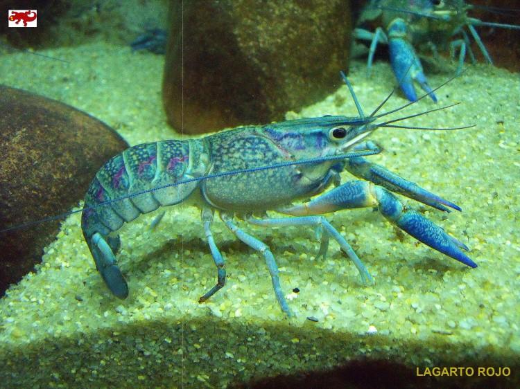 Cangrejo de río australiano