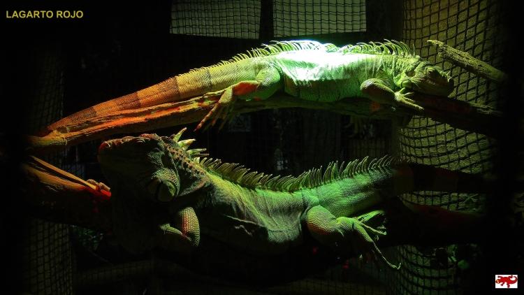 Iguanas de Australia