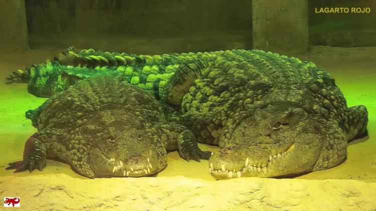 Cocodrilos del Nilo