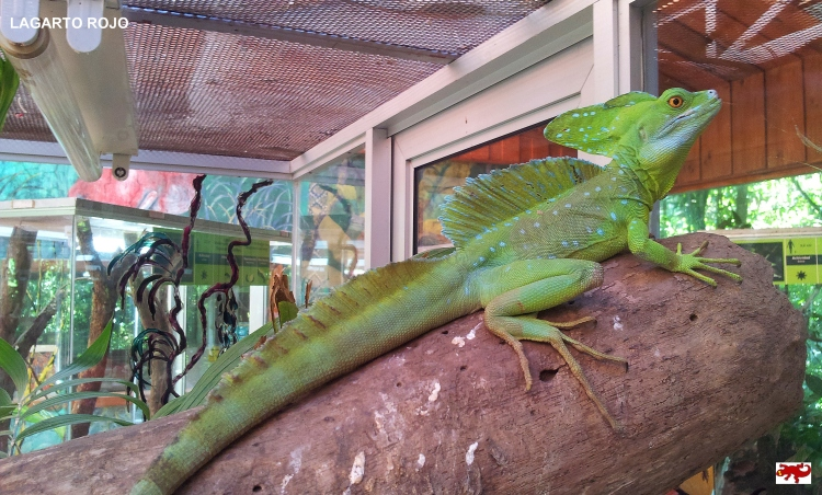 Lagarto de Costa Rica