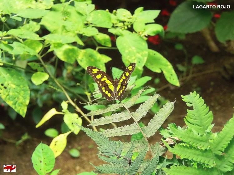 Mariposa de Costa Rica