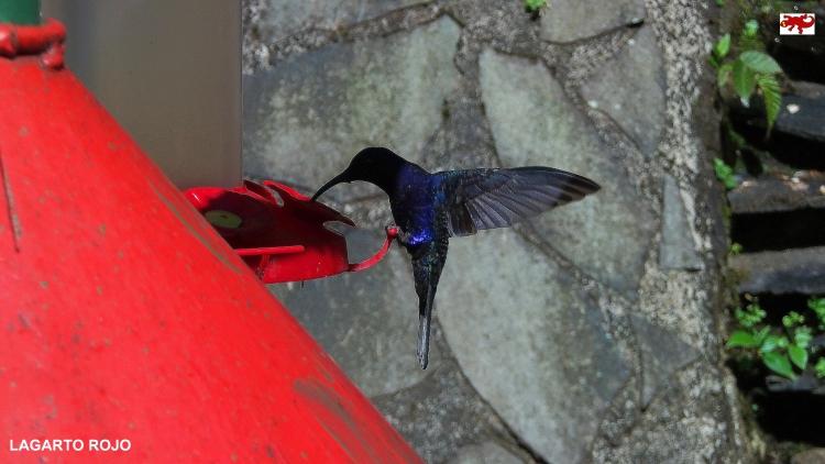 Colibríes de Costa Rica