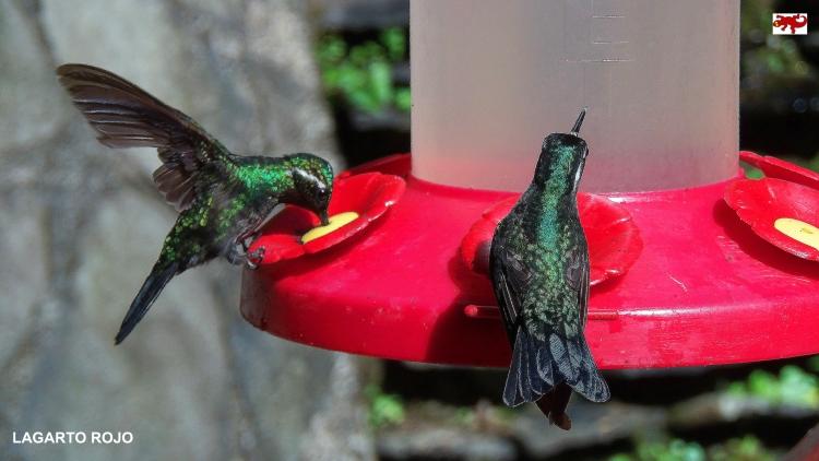 Colibríes de Monteverde
