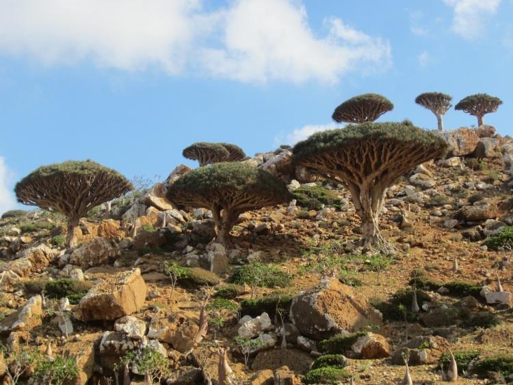Árboles de Sangre de Dragón en Socotra